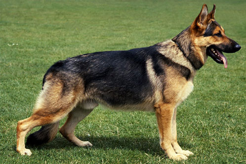 german shepherd sloping back vs straight back